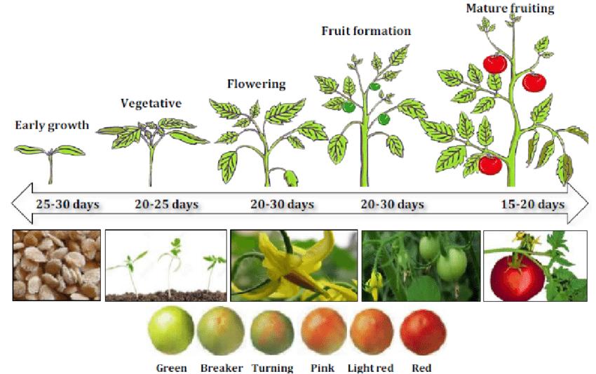مراحل رشدی گوجه فرنگی