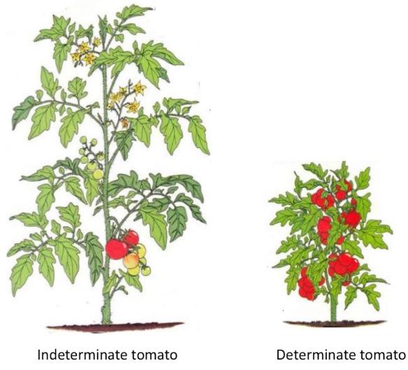 راهنمای کامل کاشت و پرورش گوجه فرنگی