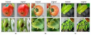 کمبود عناصر در گوجه فرنگی