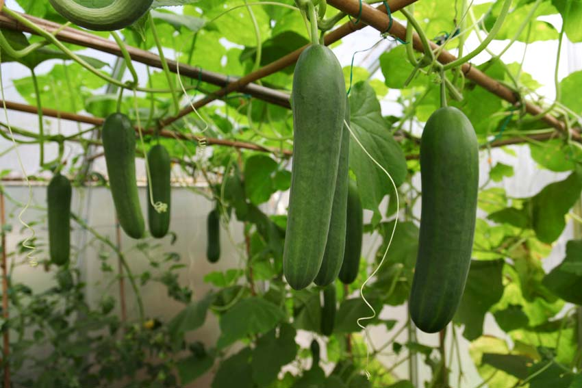 کاشت و پرورش خیار ، خیار گلخانه ای