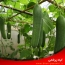 راهنمای کامل کاشت و پرورش و تغذیه گیاه خیار