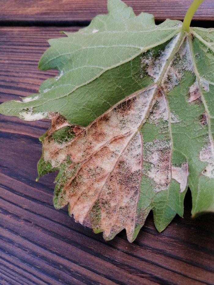 شناسایی و کنترل آفت انگور ، کنه نمدی مو