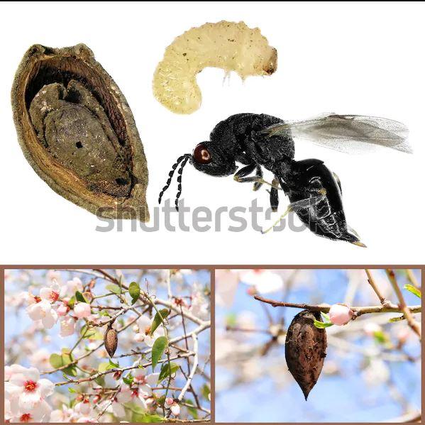 شناسایی و کنترل زنبور سیاه مغزخوار پسته