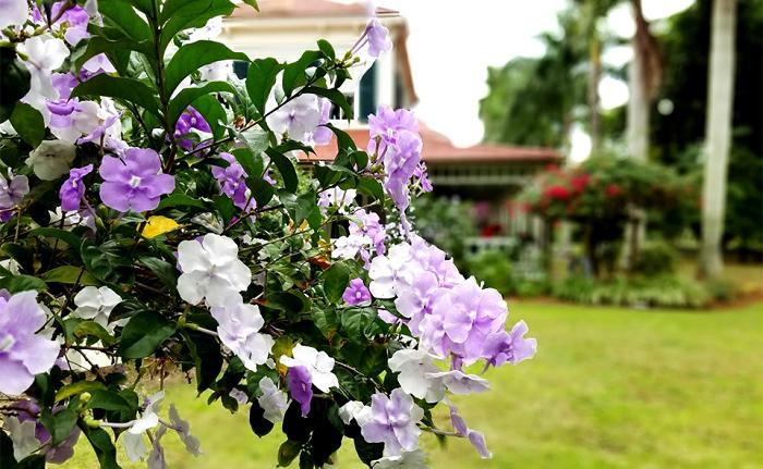 نگهداری و مراقبت از گیاه آپارتمانی زمپوژنه (برونفلزیا)