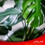نگهداری و مراقبت از گیاه آپارتمانی اَژبن یا برگ انجیری