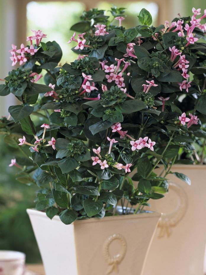 نگهداری و مراقبت از گیاه آپارتمانی بوواردیا (Trompetilla)