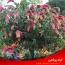 راهنمای مراقبت و نگهداری از گل آپاراتمانی ناوک (بلپرون)