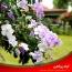 نگهداری و مراقبت از گیاه آپارتمانی زمپوژنه (برونفلزیا – دیروز امروز فردا)