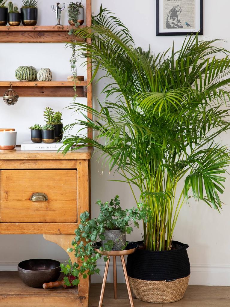 راهنمای نگهداری و مراقبت از گیاه آپارتمانی نخل اریکا ( Areca palm )