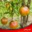 شناسایی جامع و کنترل آفات، بیماری ها و خسارت های درخت انار