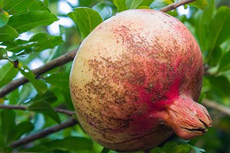 خسارت تریپس به درخت انار