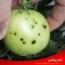 شناسایی و کنترل بیماری خال زدگی باکتریایی گوجه فرنگی