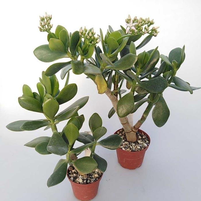 نگهداری و مراقبت از گیاه آپارتمانی کراسولا (Crassula)