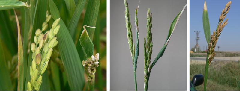 بررسی اهمیت، چرخه زندگی و کنترل نماتد نوک سفیدی برگ برنج