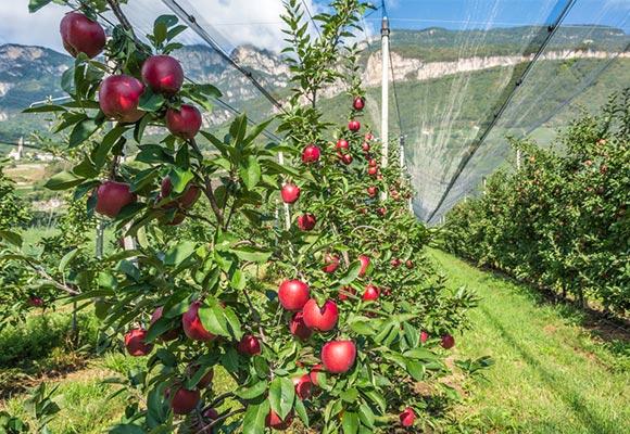 توری های آفتابگیر محافظت کننده درختان میوه از آفتاب سوختگی