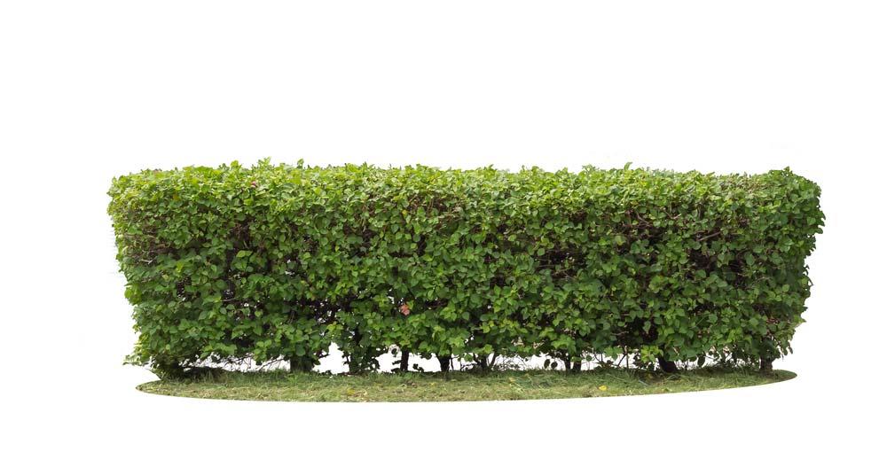 راهنمای جامع انتخاب درست گیاه برای ایجاد پرچین (بادگیر ، حصار) سبز